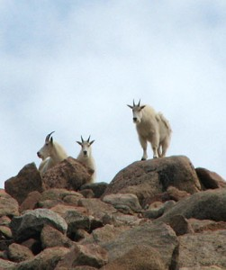 Goats on mountain2
