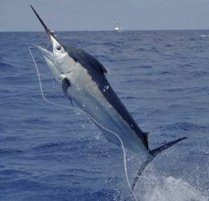 Marlin on a hook