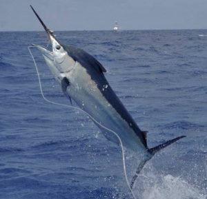Marlin on a hook